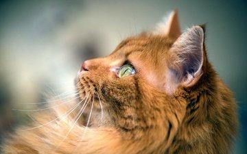 фон, кот, мордочка, усы, кошка, взгляд, профиль