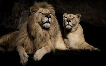 background, black background, pair, stay, lions, leo, lioness