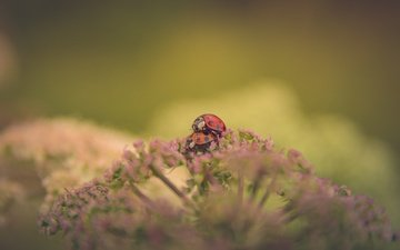 flowers, background, insects, ladybug, blur, pair