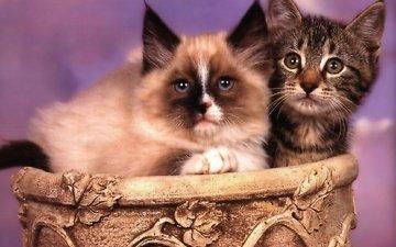 фон, мордочка, усы, взгляд, парочка, корзина, кошки, котята