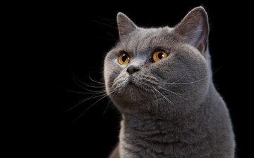 фон, портрет, кот, кошка, взгляд, черный фон, британский, британец, желтые глаза