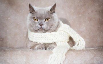фон, портрет, кот, мордочка, усы, кошка, взгляд, шарф, британская короткошерстная кошка
