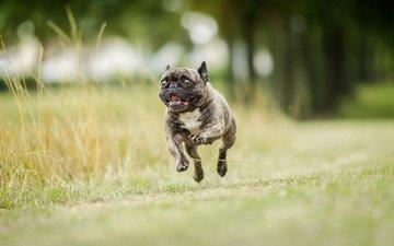 background, dog, running, french bulldog