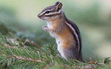 needles, background, animals, branches, wildlife, chipmunk, rodents