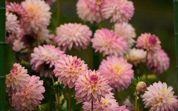 flowers, flowering, petals, pink, dahlias