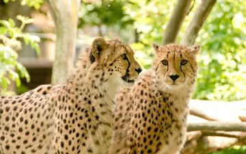 nature, africa, stay, predators, cheetah, cheetahs
