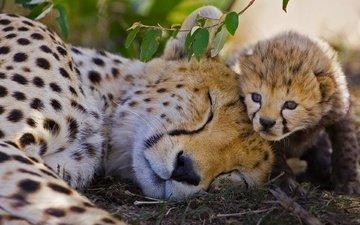 африка, большая кошка, гепард, заповедник, детеныш, кения, гепарды