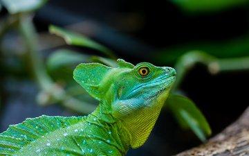 глаза, ящерица, рептилия, василиск