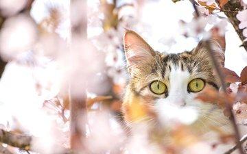 глаза, дерево, кот, мордочка, усы, кошка, взгляд, весна, вишня