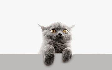 глаза, кот, мордочка, усы, лапы, кошка, взгляд