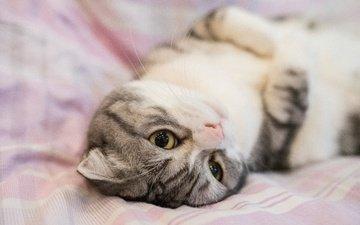 глаза, кот, мордочка, кошка, взгляд, лежит, серая, постель, вислоухая, шотландская вислоухая