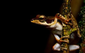 eyes, macro, frog, black background, bark, legs, amphibian, amphibians