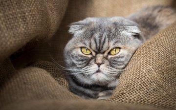 глаза, морда, фон, портрет, кот, кошка, мешковина, шотландская, вислоухая, шотландская вислоухая