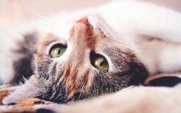 глаза, морда, кот, мордочка, усы, кошка, взгляд