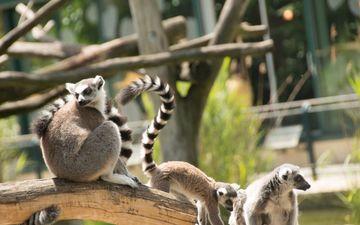 глаза, морда, ветка, природа, животное, хвост, лемуры, лемур, мадагаскар, приматы, млекопитающее