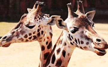 глаза, морда, животные, пара, два, жираф, жирафы, зоопарк, шея