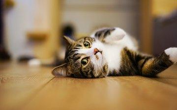 eyes, pose, cat, muzzle, look, lies, room, floor, flooring, legs