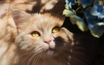 глаза, свет, цветы, портрет, кот, кошка, взгляд, мордашка, тени, гортензия, желтые глаза
