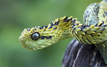 eyes, snake, scales, viper, shrub, wood adder