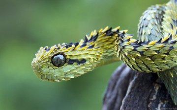 глаза, змея, чешуйки, гадюка, кустарниковая, древесная гадюка