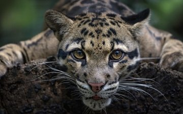 eyes, muzzle, mustache, look, wild cat, clouded leopard