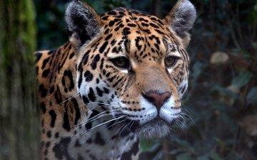 look, predator, jaguar, zoo, big cat