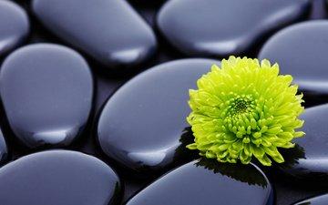 камни, макро, цветок, лепестки, хризантема