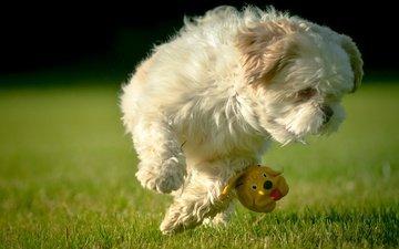 grass, jump, toy, lawn, dog, shih tzu