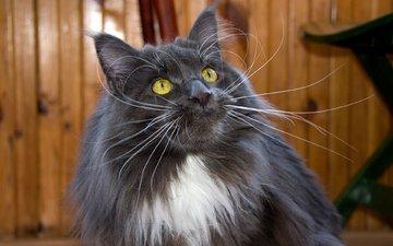 кот, мордочка, усы, кошка, взгляд, к, мейн-кун