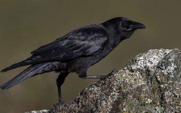 stone, bird, beak, crow