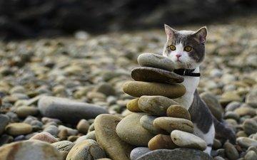 камни, берег, галька, кот, мордочка, усы, кошка, взгляд