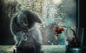 cat, drops, kitty, rain, berries, window, glass, foot