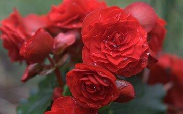 цветы, капли, лепестки, красная, бегония