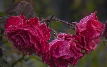 цветы, капли, розы, лепестки, после дождя