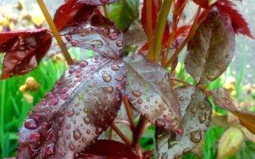 листья, капли, капли воды, после дождя