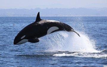 море, брызги, касатка, хищник, животное, кит, млекопитающее