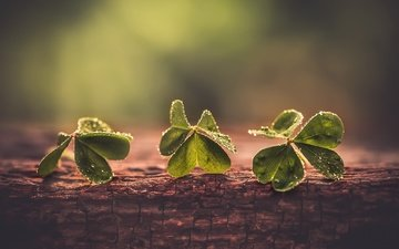 clover, macro, background, drops, leaves