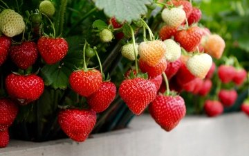 strawberry, ripe, berries