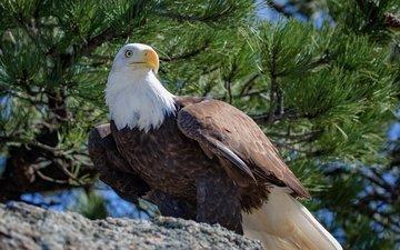 хвоя, ветки, птица, клюв, перья, белоголовый орлан