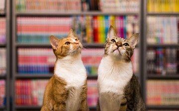 мордочка, усы, взгляд, книги, коты, кошки, библиотека, полки