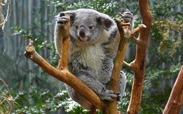 природа, дерево, животные, коала