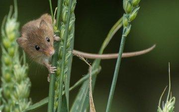 колосья, мышь, животное, зверек, грызун