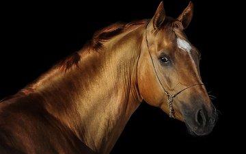 лошадь, черный фон, конь, грива, жеребец, svetlana ryazantseva
