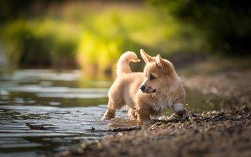 water, nature, stream, dog, puppy, animal, welsh corgi, corgi, pembroke, nicole trenker