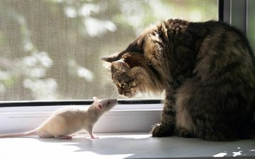 кошка, окно, крыса, подоконник, знакомство
