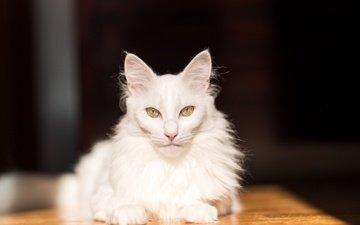 кот, мордочка, усы, кошка, взгляд, белая