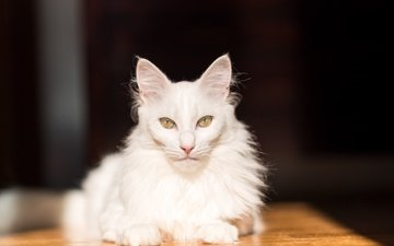 cat, muzzle, mustache, look, white