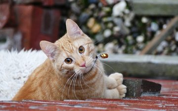 кот, мордочка, усы, кошка, взгляд, котенок, рыжий