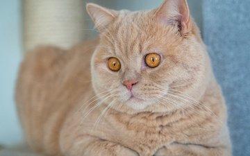 кот, мордочка, усы, кошка, взгляд, британская короткошерстная кошка