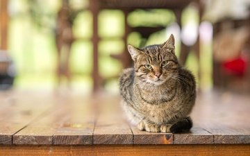 кот, мордочка, усы, кошка, взгляд, доски, пол